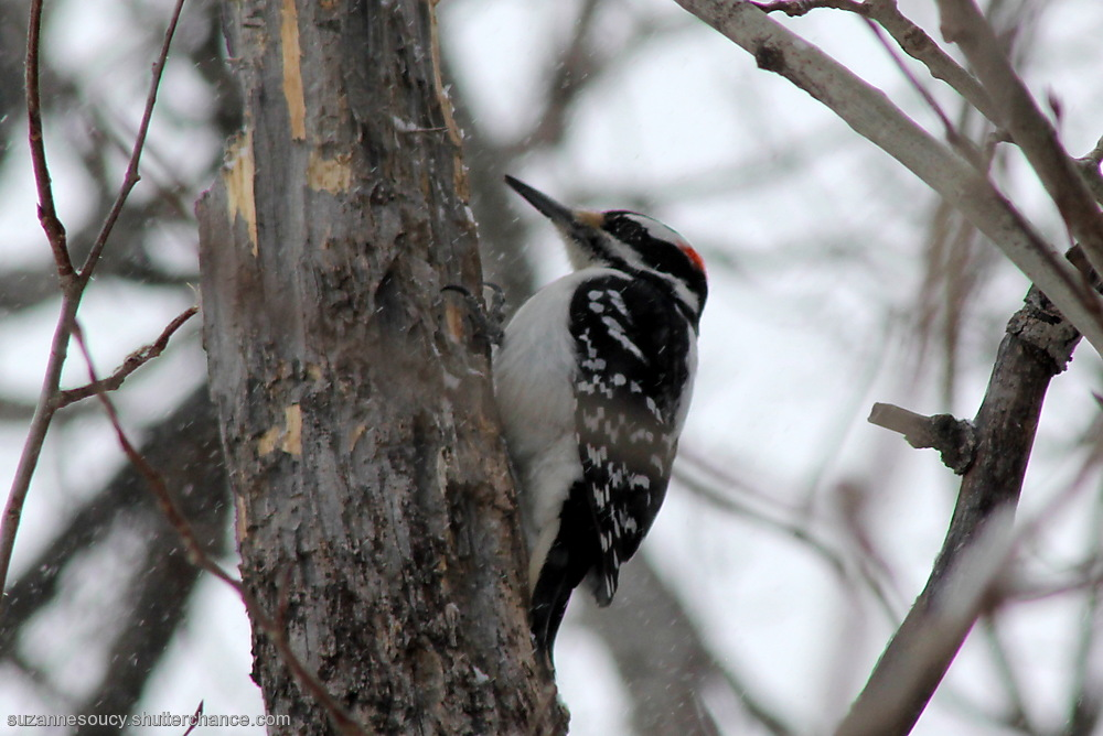 photoblog image Hairy Woodpecker, male